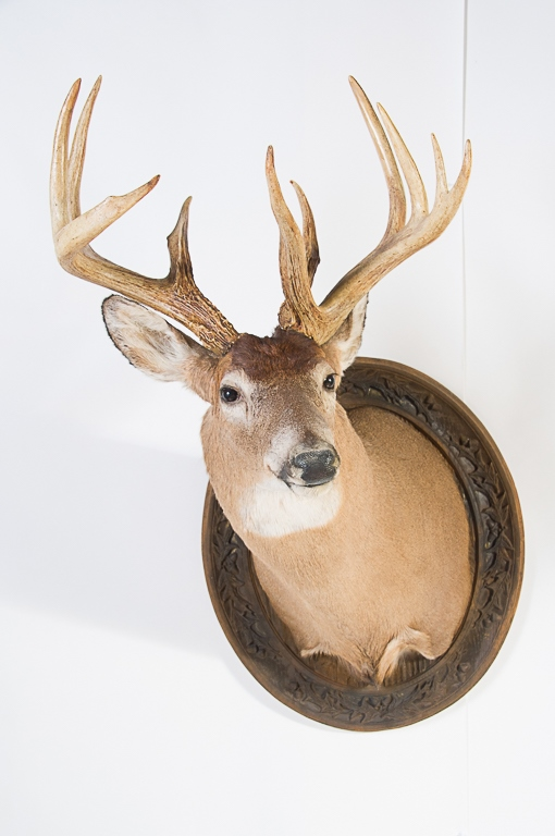 11pt. Whitetail Buck Wall Mount