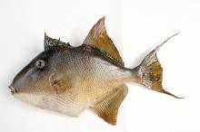 Trigger Fish caught in North Carolina