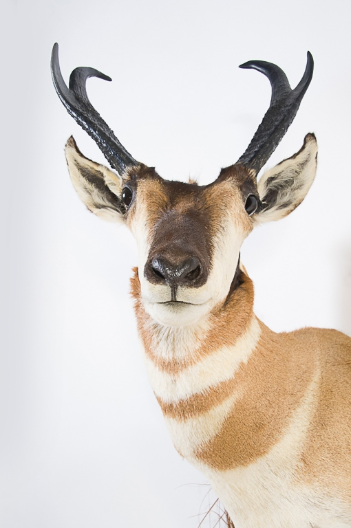Pronghorn Head Mount In A Wall Mount