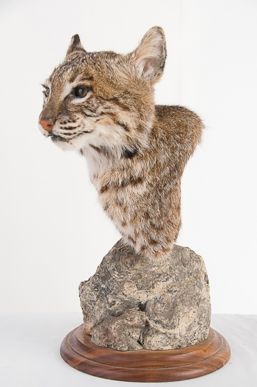 Bobcat Head Mount