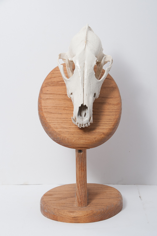 Coyote Head Skull Mount