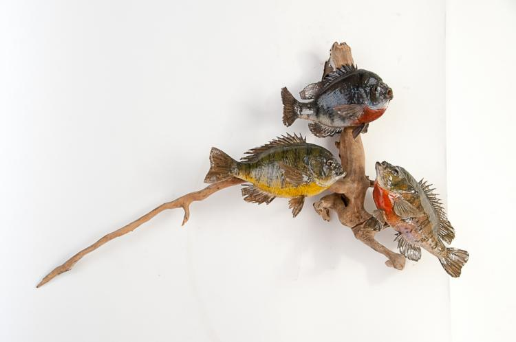 3 Bluegills on Driftwood
