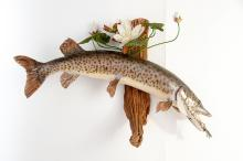 Spotted Muskie Fish Wall Mount