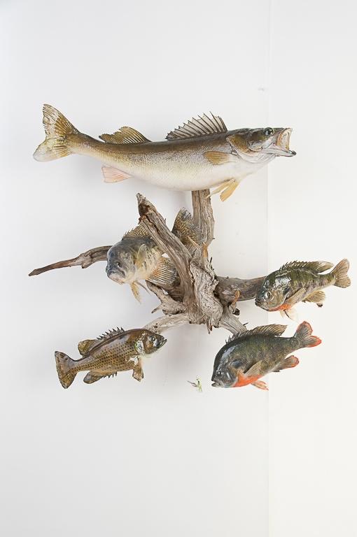 5 Fish on Driftwood