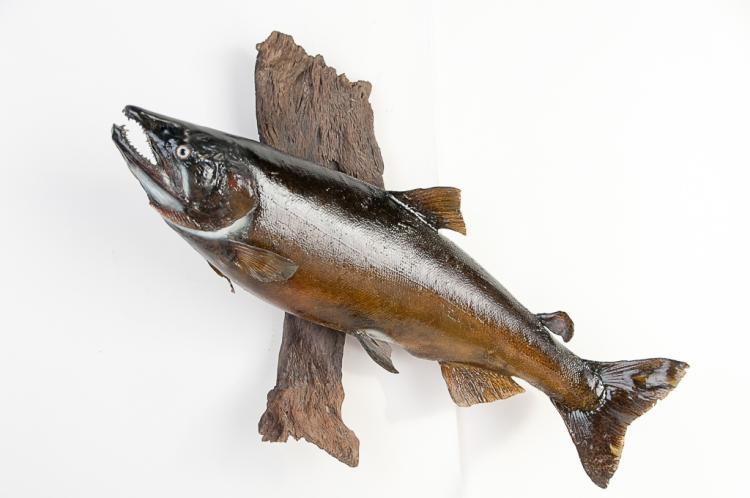 King Salmon Fish Wall Mount