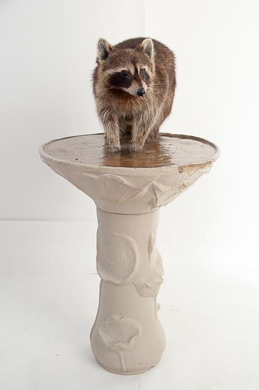 Racoon on Bird Bath