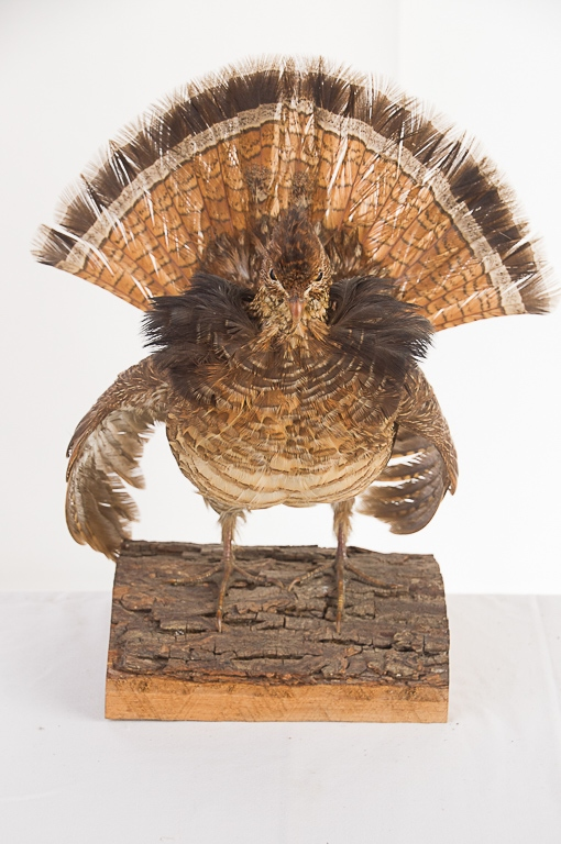Ruffed Grouse Table Mount