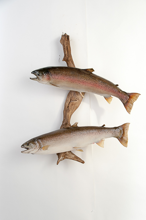Male & Female Steelhead Fish