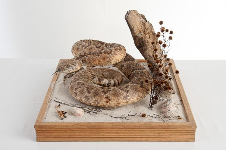 Diamond Back Rattle Snake in Glass Case
