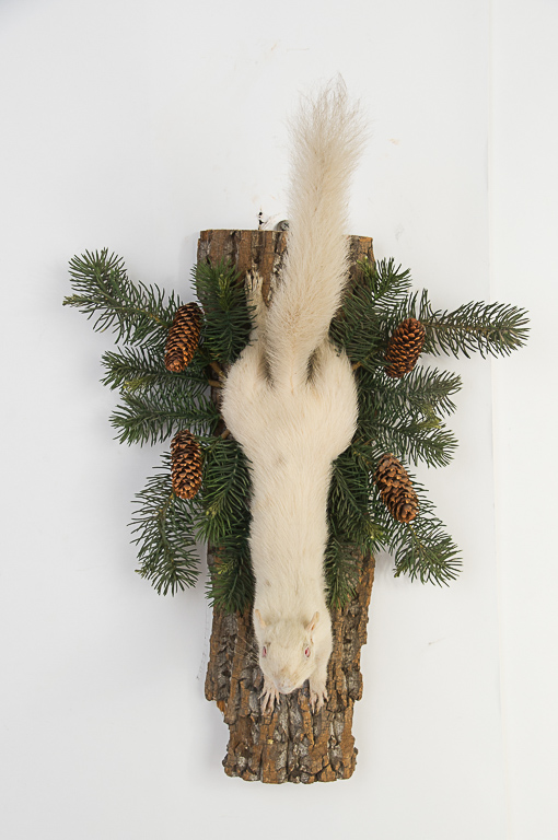 Rare Albino Squirrel Wall Mount