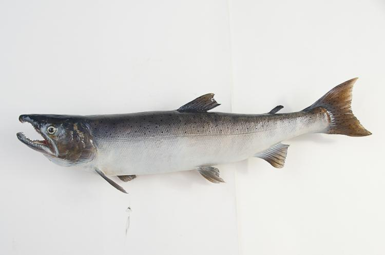 Coho Salmon Fish Mount
