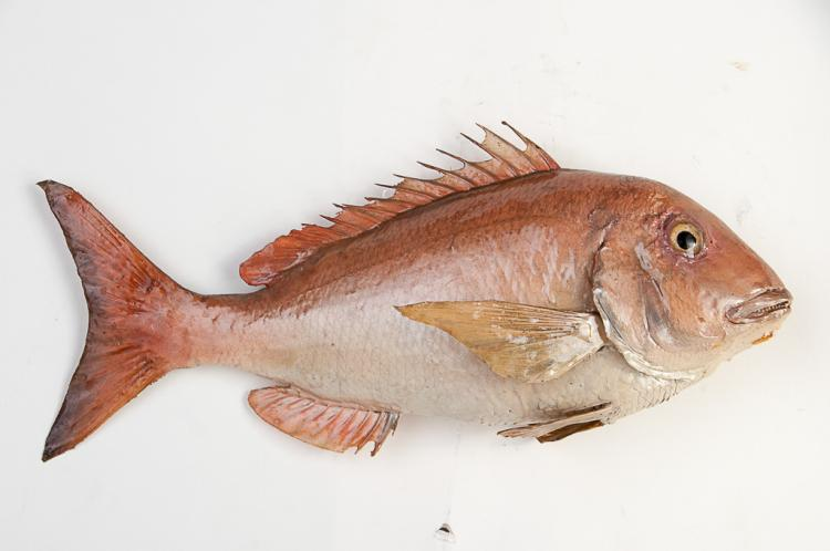 Red Snapper Fish Wall Mount