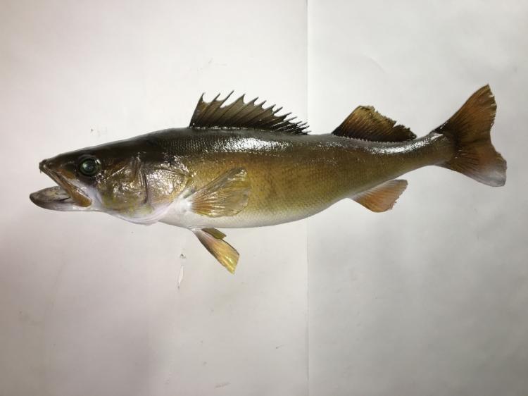 Walleye 29.25