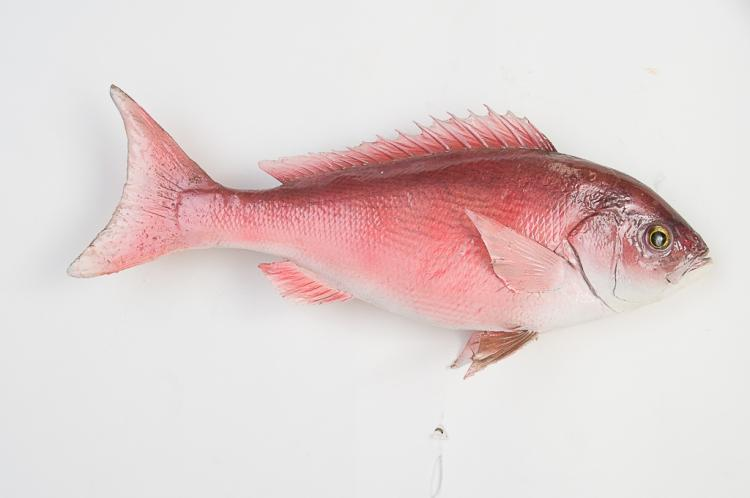 Red Snapper from South Carolina