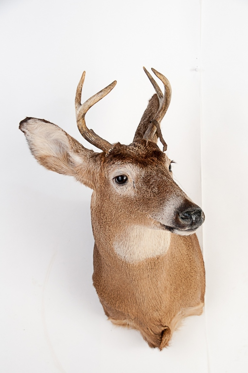 Five Point Whitetail Buck