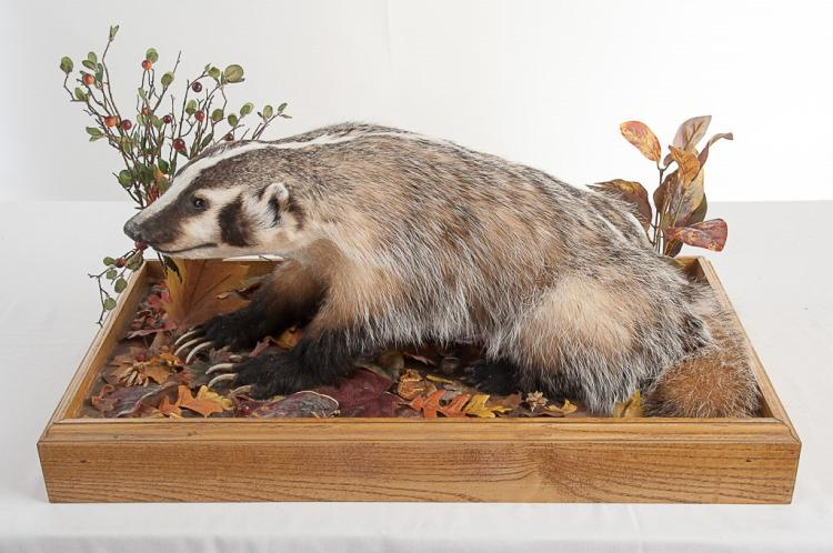 American Badger in Glass Case