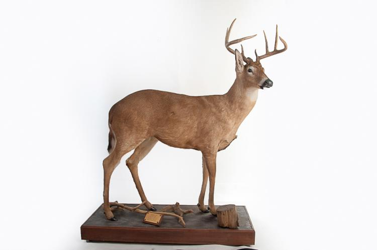 8 Point Whitetail Buck Deer