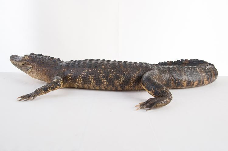 4 ft. Alligator Mount