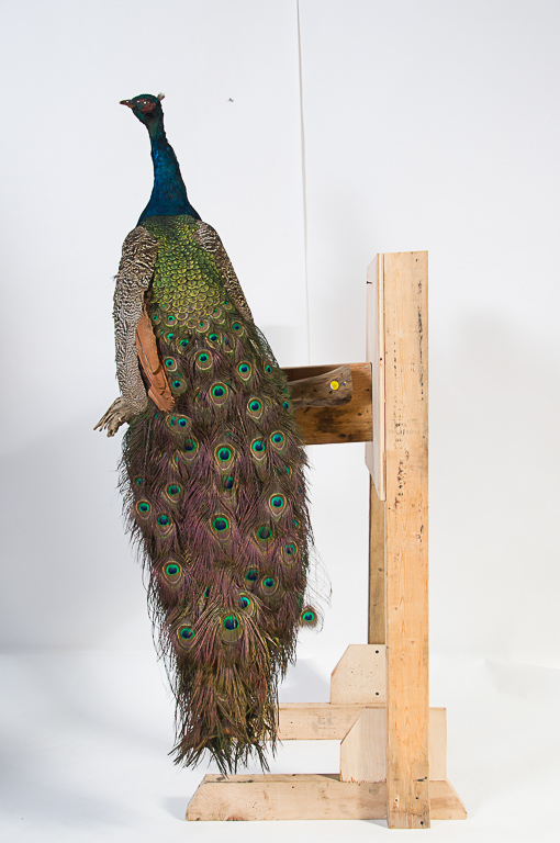 Peacock Mount
