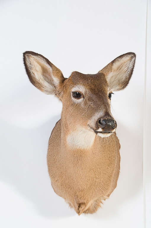 Whitetail Deer Doe Head Mount