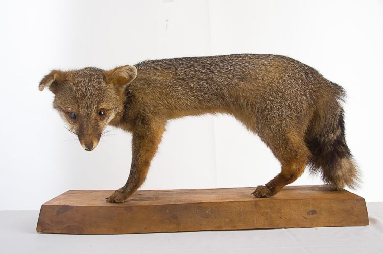 Grey Fox on Wood