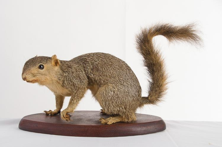 Fox Squirrel 1961 Table Mount