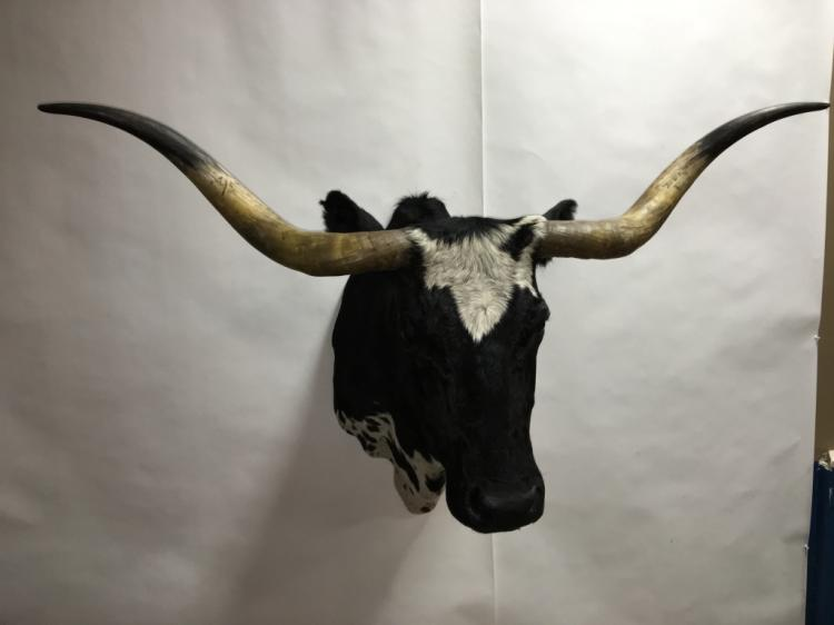Longhorn Steer Cow
