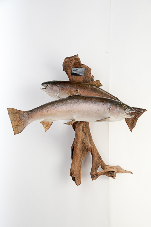 2 Steelhead Fish on Driftwood