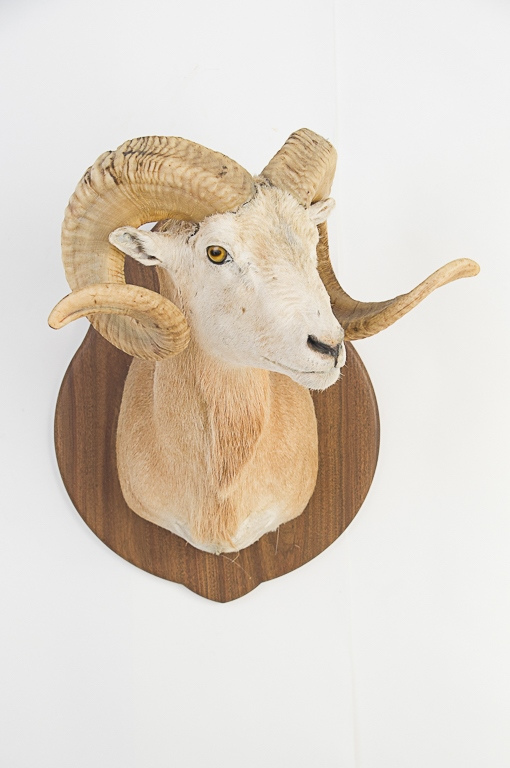 Ram from Champaign County, Ohio
