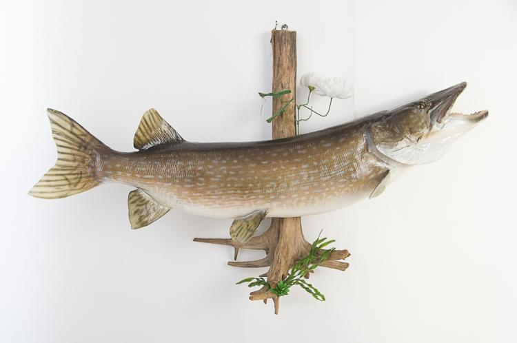 Northern Pike Fish 25 lbs.