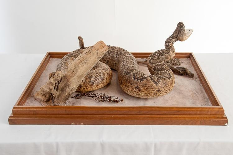 Large Rattle Snake in Glass Case