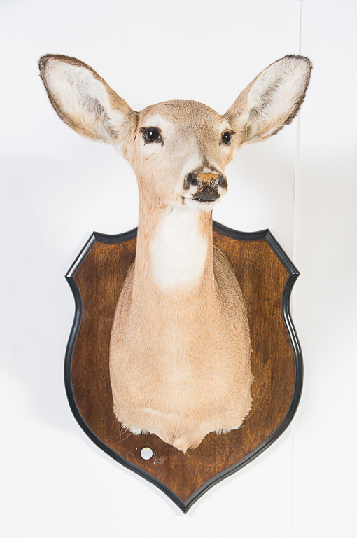 Whitetail Deer Doe Head Mount