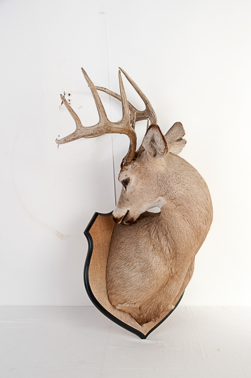 10 Point Whitetail Deer Buck Mount