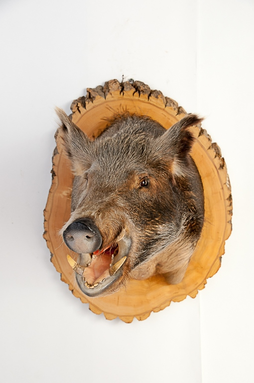 Russian Boar Head Mount from Tennessee