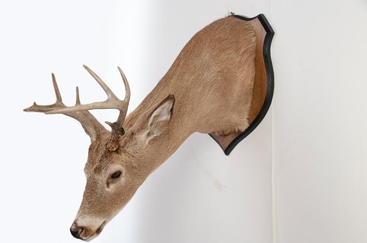 8 pt. Whitetail Deer Buck Head Mount