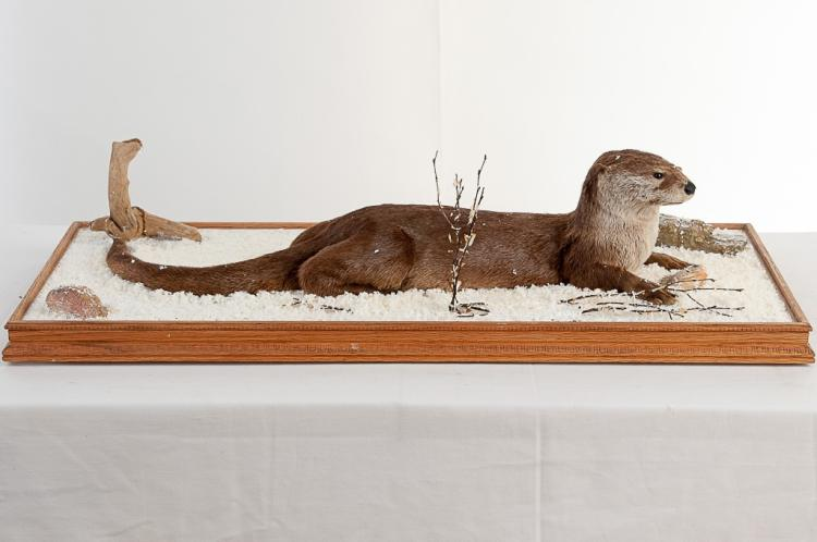 River Otter in Glass Case