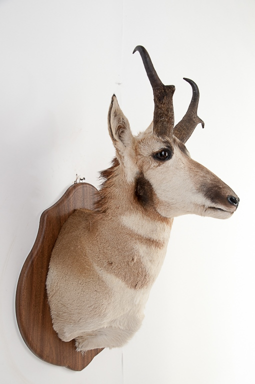 Pronghorn Antelope Head Mount