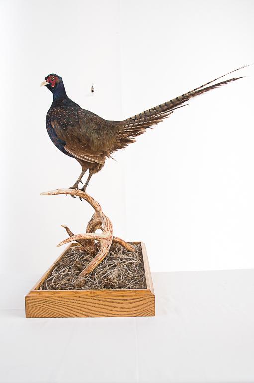 Black Pheasant