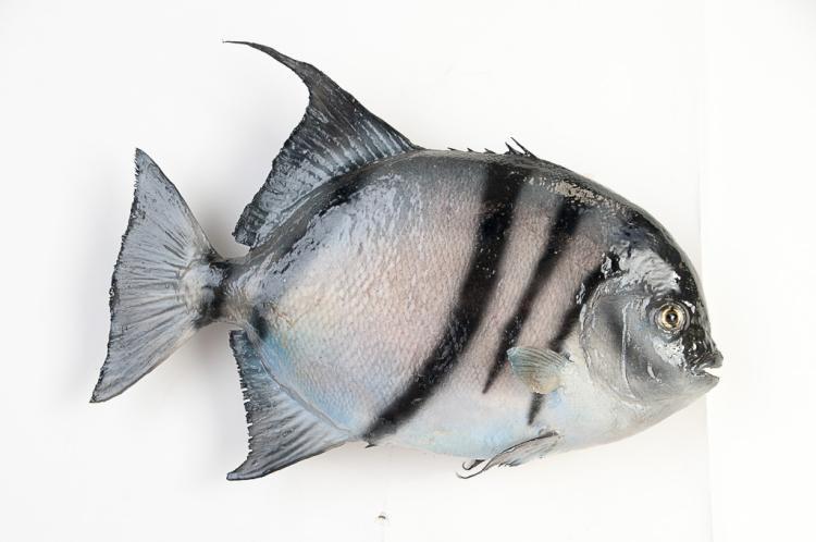 Atlantis Spade Fish