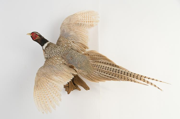 Silver Pheasant Wall Mount