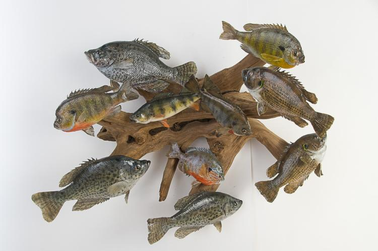 10 Fish on large Driftwood