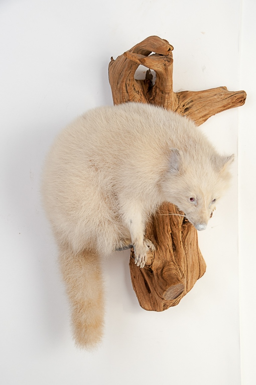 Albino Raccoon Wall Mount