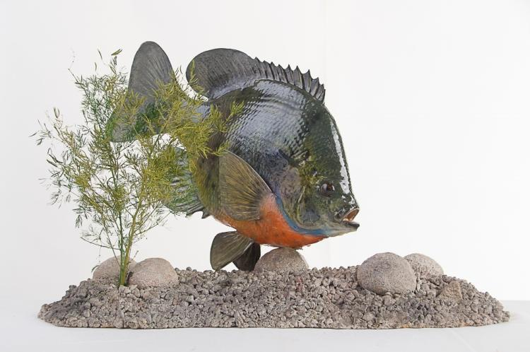 Large Bluegill Mount