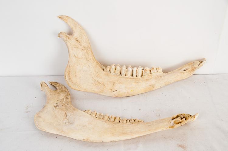 Elk Jaw Bones