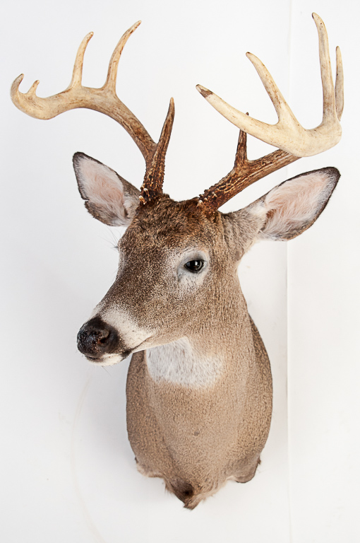 8pt. Whitetail Buck Deer Head Mount