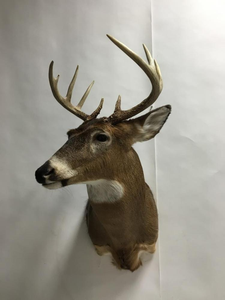 9pt. Whitetail Buck Wall Mount