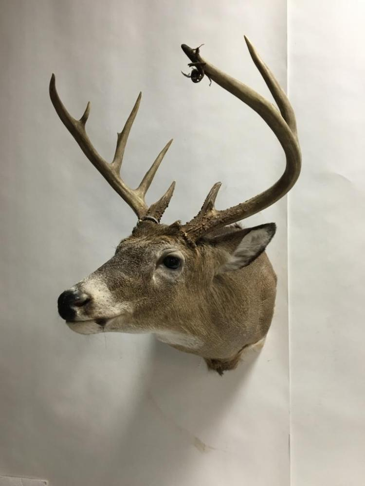 10pt. Whitetail Deer Buck Wall Mount