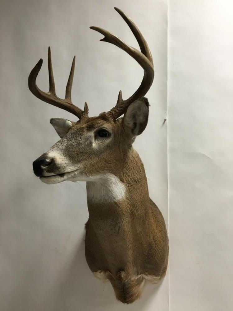 9 Point Whitetail Buck Deer Mount