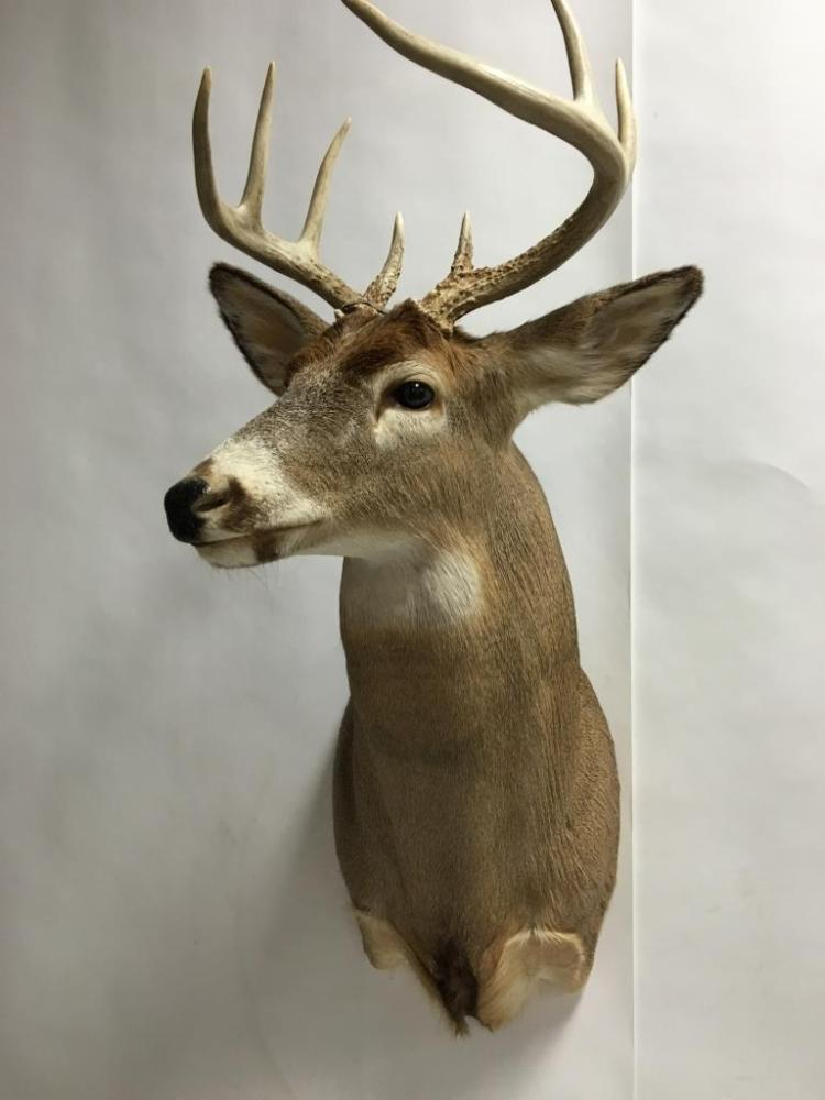 8 Pont Whitetail Buck Deer