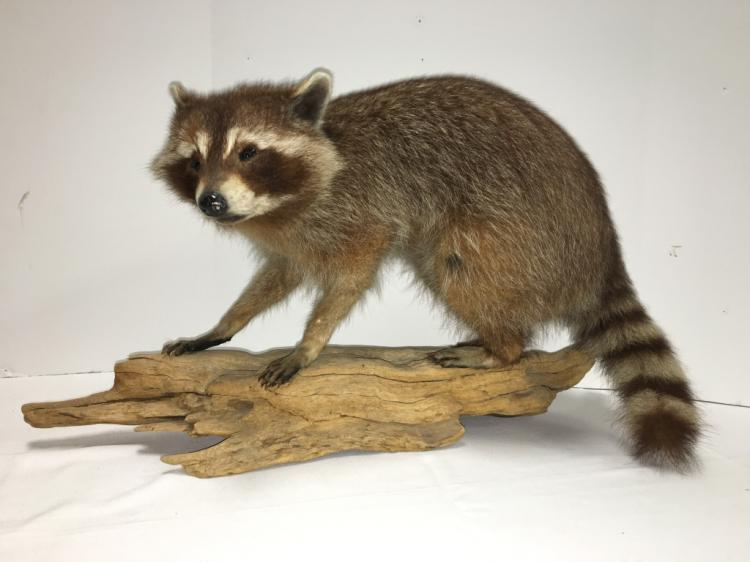 Raccoon on Driftwood